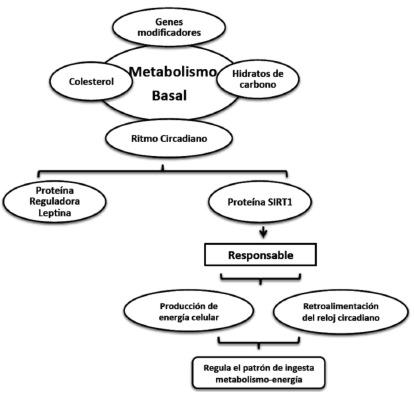 Envejecimiento Y Metabolismo Cambios Y Regulaci 243 N